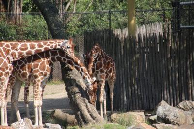 Giraffe - Diergaarde Blijdorp